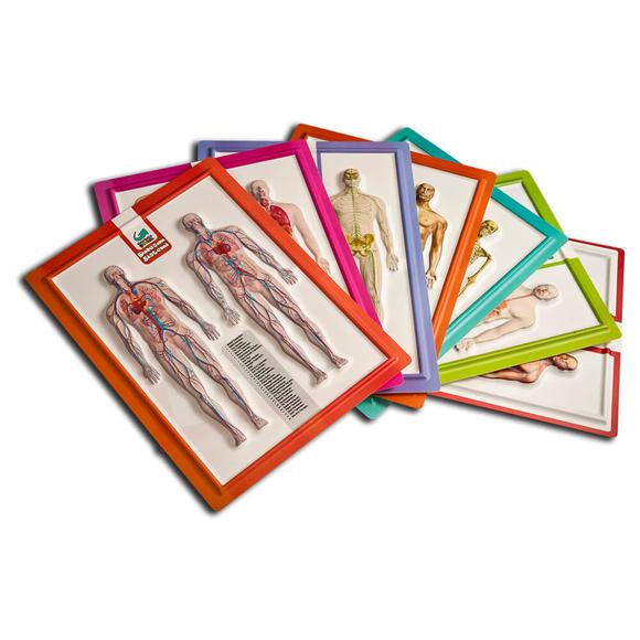 Gürbüz Kabartma Anatomi Atlası A4 28003